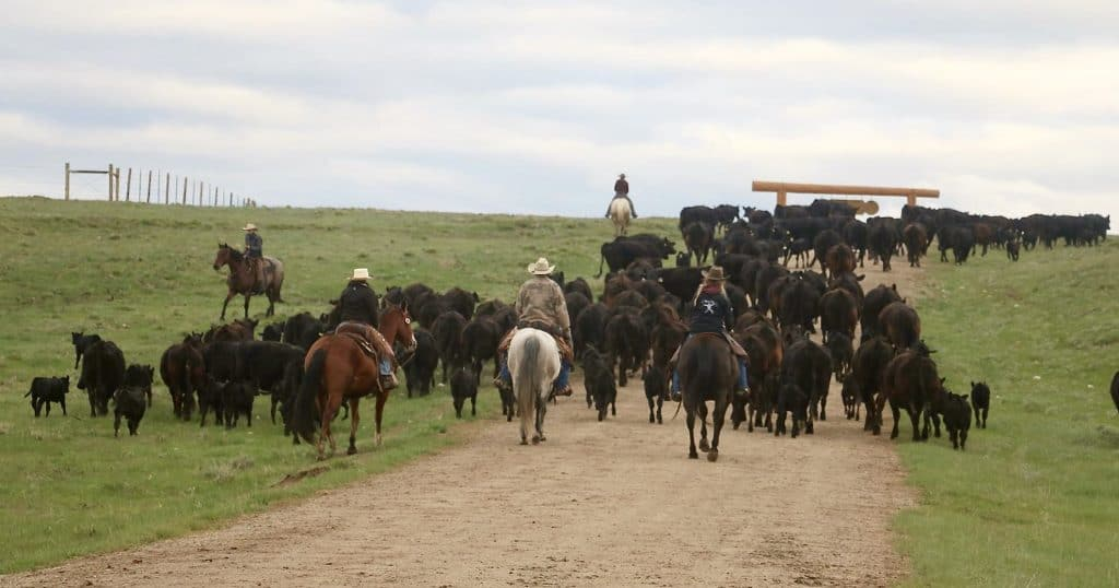 Noble Cattle Drive