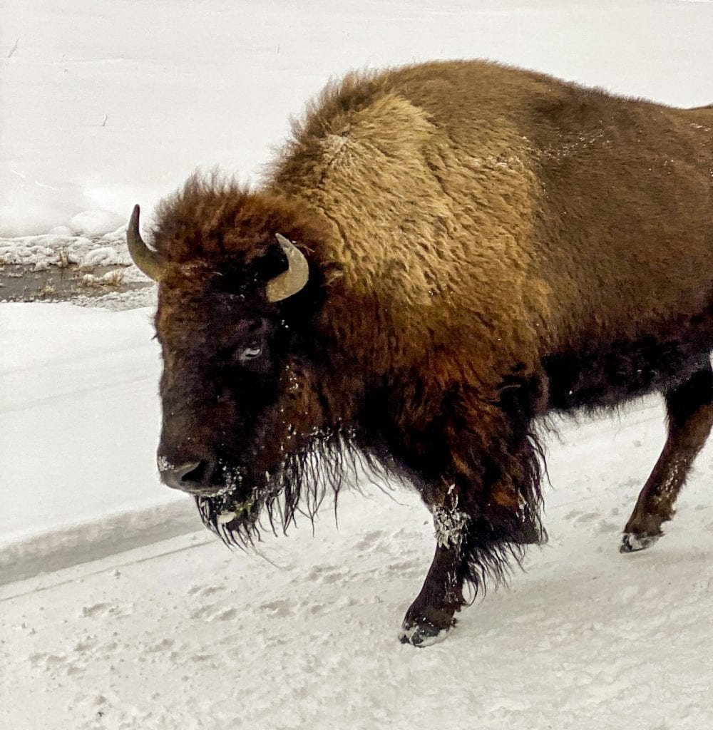 Winter in Yellowstone: bison close-up