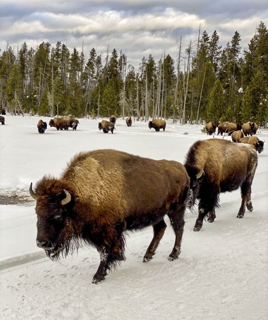 Winter in Yellowstone: bison on the road