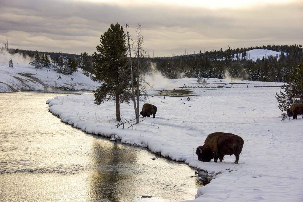 Winter in Yellowstone: bison grazing by the Firehole River