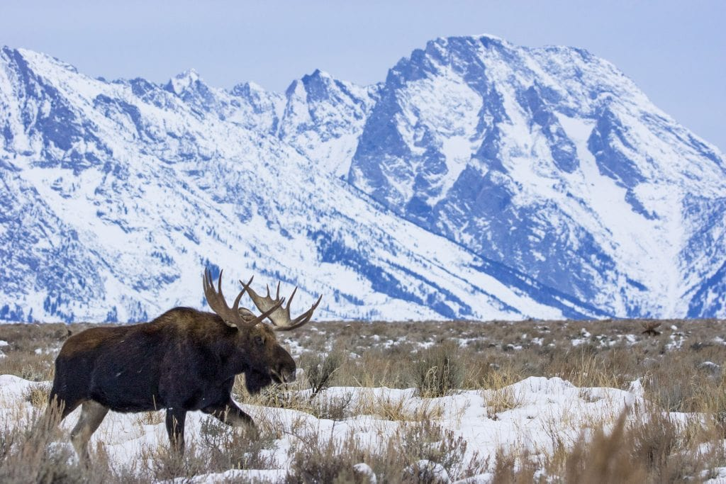Bull moose at base of Tetons