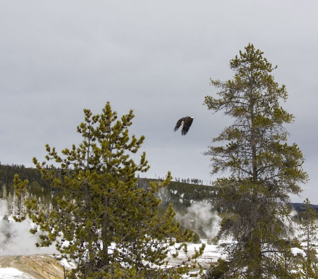 Winter in Yellowstone: eagle diving for prey