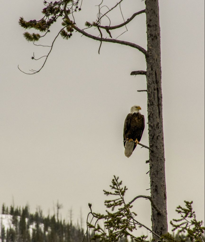 Winter in Yellowstone: eagle in pine tree