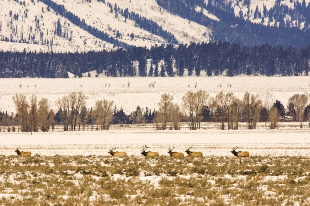 Elk parade in Tetons