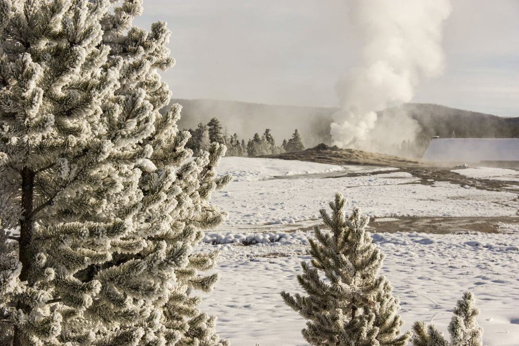 Winter in Yellowstone: frosty trees, geyser in background