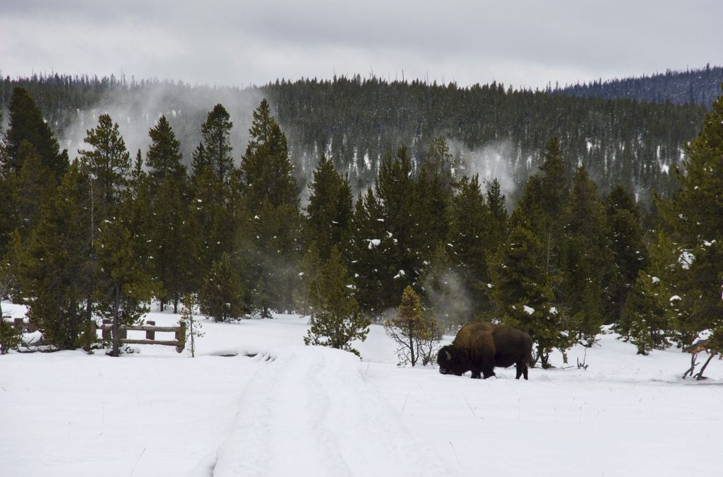 Winter in Yellowstone: lone bison in the pines