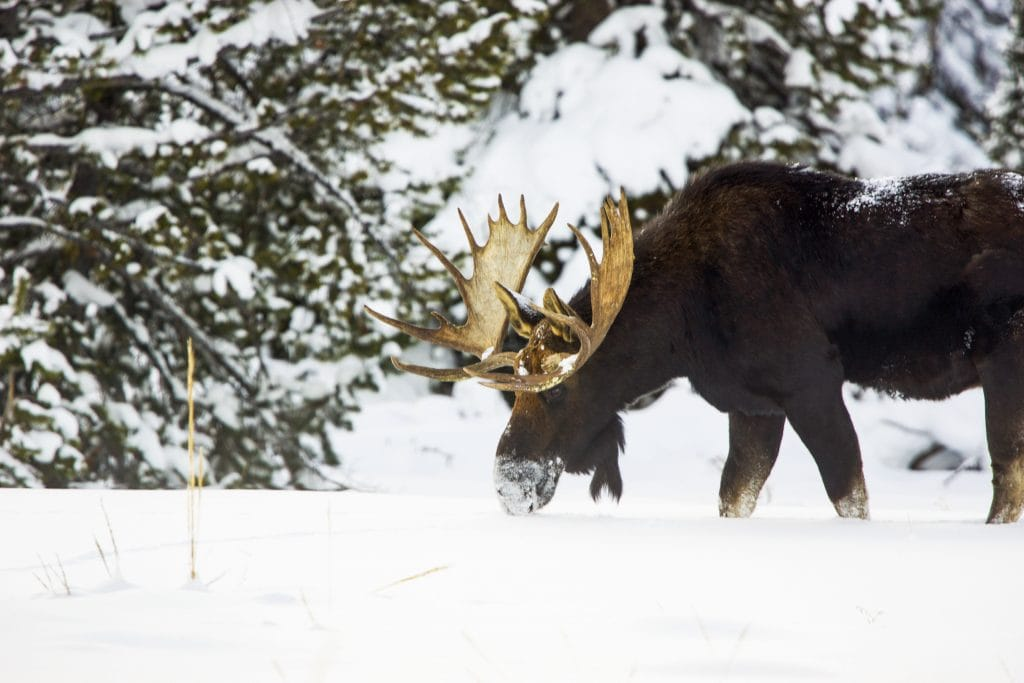 Moose foraging in snow