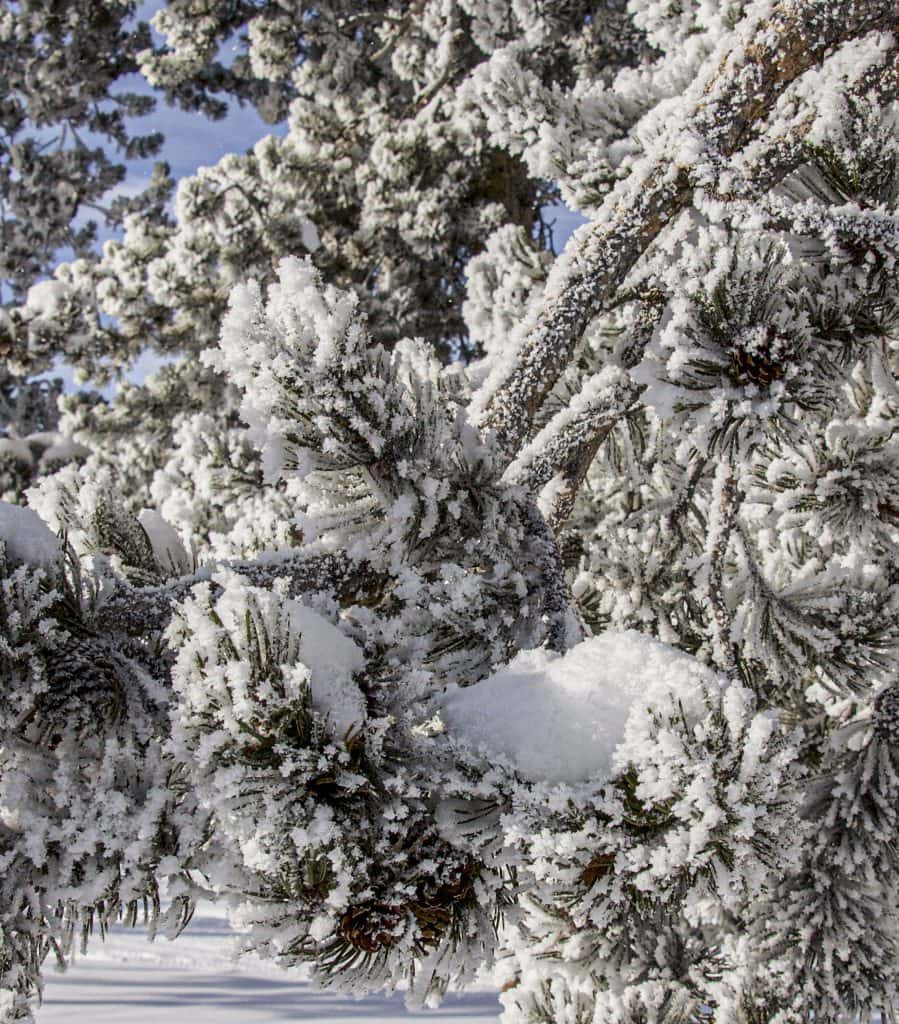 Winter in Yellowstone: close-up of frosted pine tree