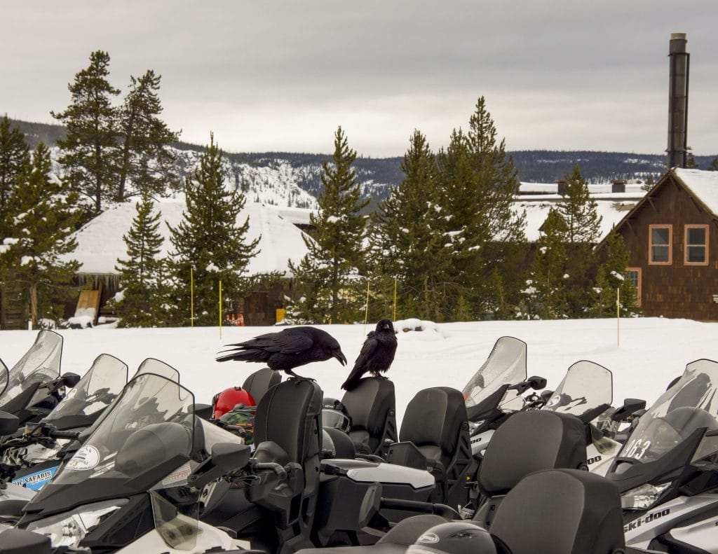 Winter in Yellowstone: ravens ready to snowmobile