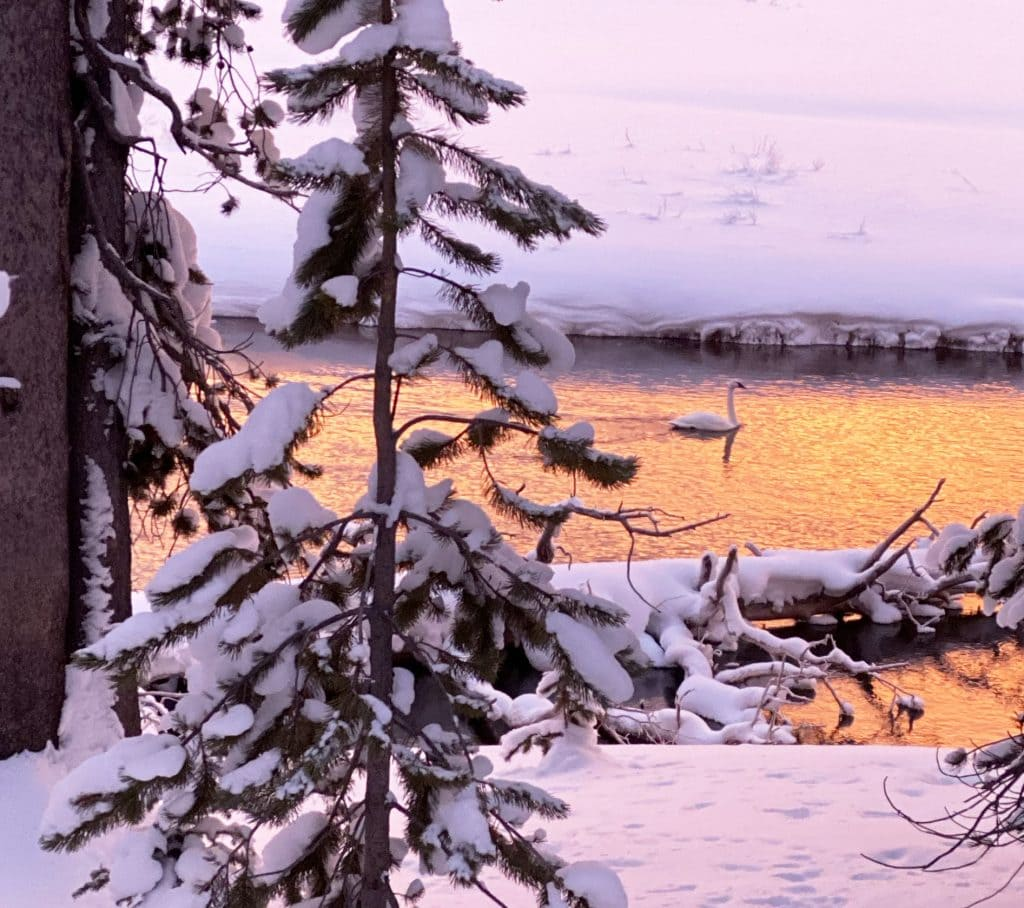 Winter in Yellowstone: swan at sunrise