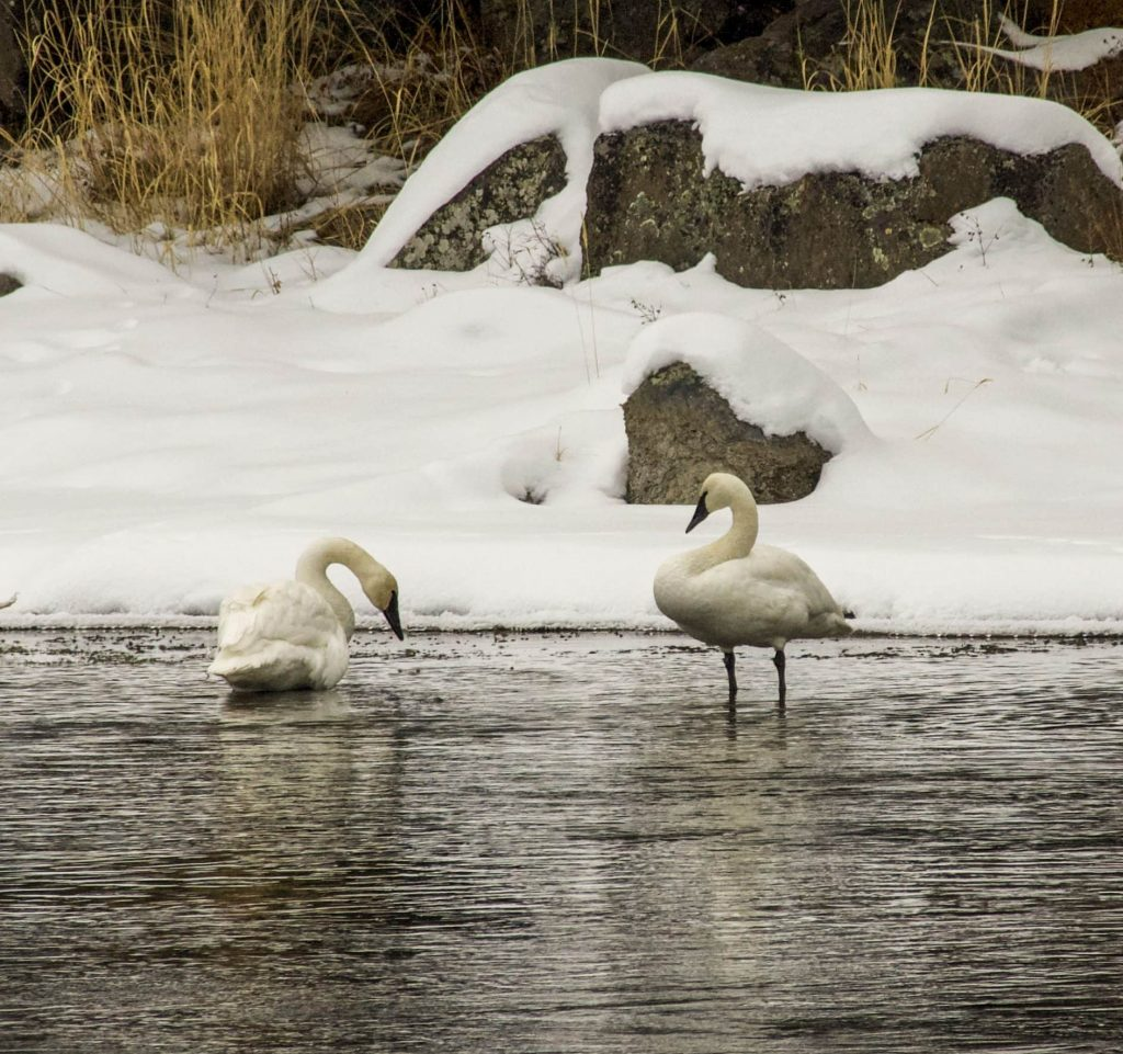 Winter in Yellowstone: Trumpeter swans