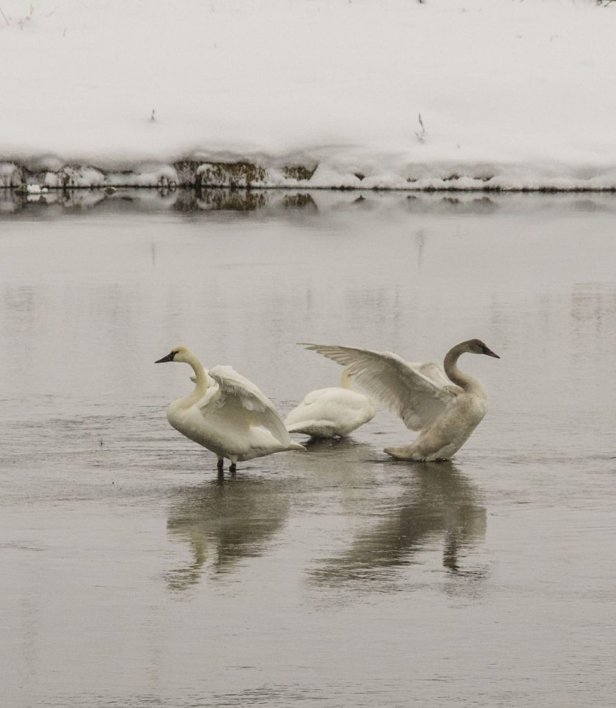Winter in Yellowstone: Trumpeter swans taking flight