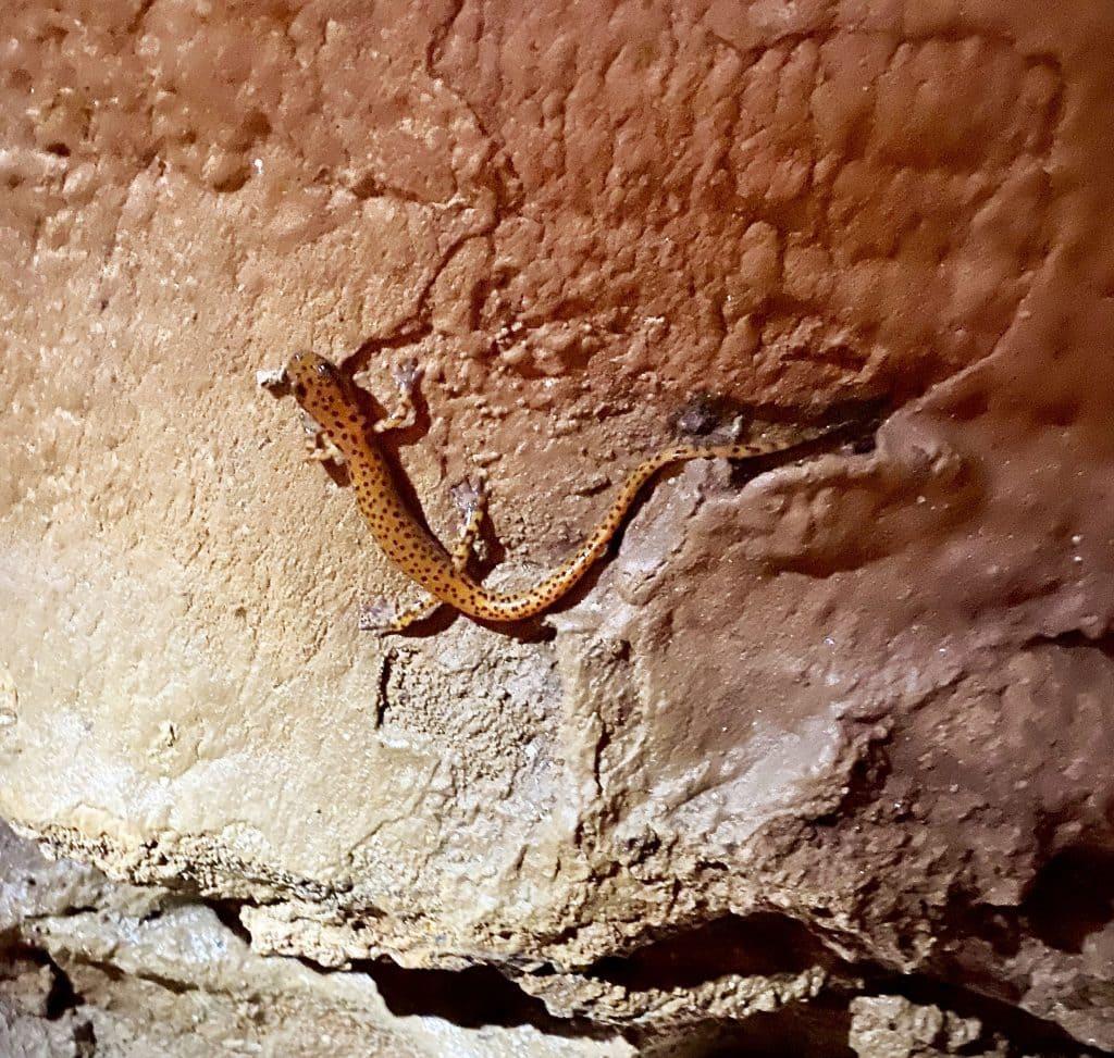 Bluff Dwellers Cave salamander
