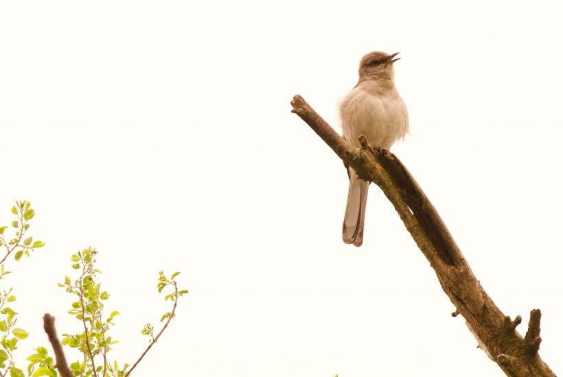 Singing mockingbird